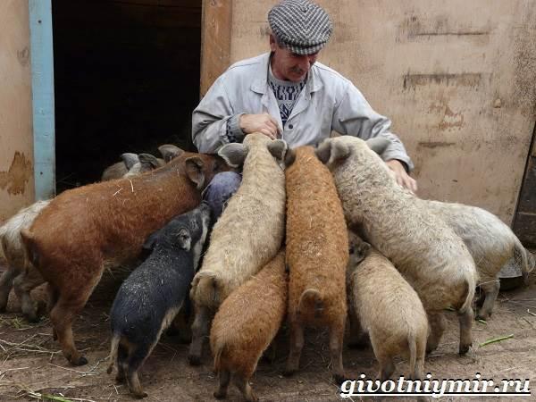Венгерская-мангалица-свинья-Описание-особенности-уход-и-цена-венгерской-мангалицы-7
