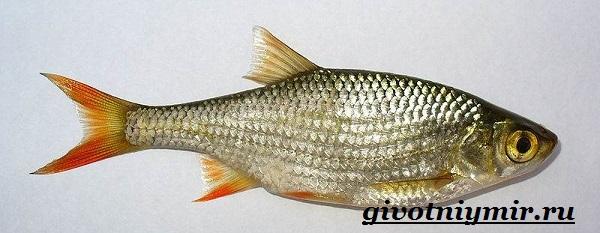 Вобла-рыба-Образ-жизни-и-среда-обитания-рыбы-воблы-3