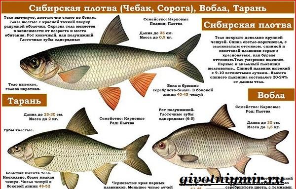 Вобла-рыба-Образ-жизни-и-среда-обитания-рыбы-воблы-5