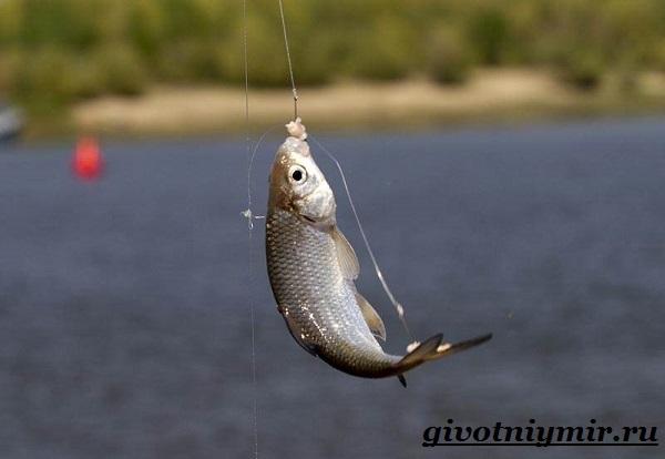 Вобла-рыба-Образ-жизни-и-среда-обитания-рыбы-воблы-7