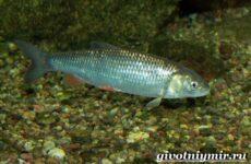 Вобла рыба. Образ жизни и среда обитания рыбы воблы