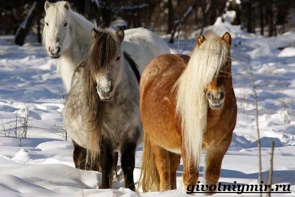 Якутская-лошадь-Описание-особенности-уход-и-цена-якутской-лошади-12