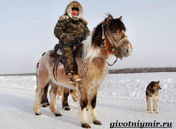 Якутская-лошадь-Описание-особенности-уход-и-цена-якутской-лошади-20