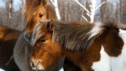 Якутская лошадь. Описание, особенности, уход и цена якутской лошади
