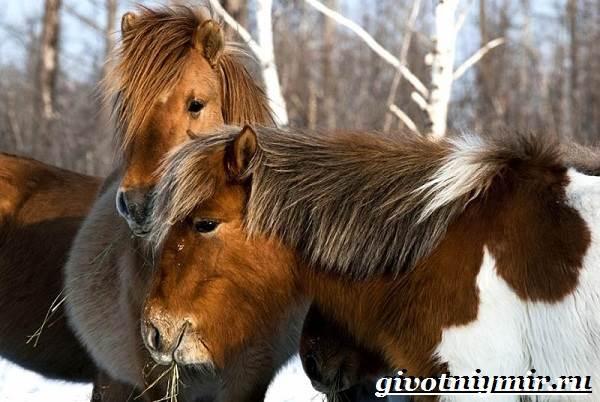 Якутская-лошадь-Описание-особенности-уход-и-цена-якутской-лошади-21