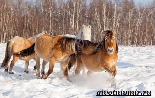 Якутская-лошадь-Описание-особенности-уход-и-цена-якутской-лошади-23