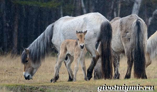 Якутская-лошадь-Описание-особенности-уход-и-цена-якутской-лошади-24