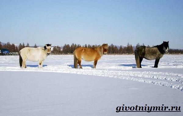 Якутская-лошадь-Описание-особенности-уход-и-цена-якутской-лошади-6