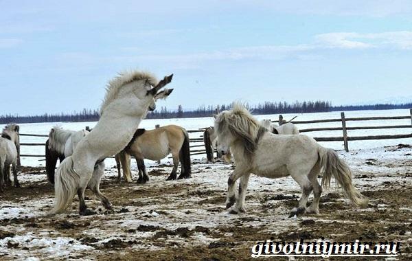 Якутская-лошадь-Описание-особенности-уход-и-цена-якутской-лошади-8