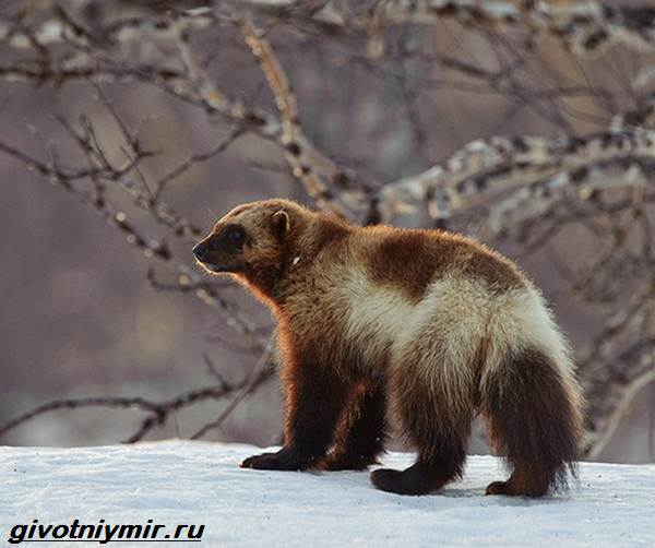 Животные-Байкала-Названия-описание-и-особенности-животных-Байкала-4