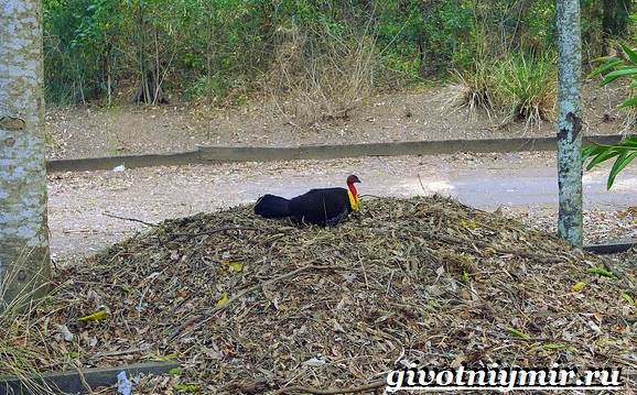 Сорная-курица-Описание-особенности-и-среда-обитания-сорной-курицы-9