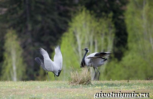 Журавль-красавка-птица-Образ-жизни-и-среда-обитания-журавля-красавка-1