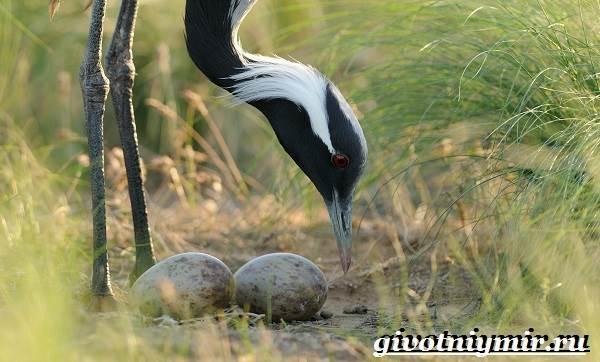 Журавль-красавка-птица-Образ-жизни-и-среда-обитания-журавля-красавка-16