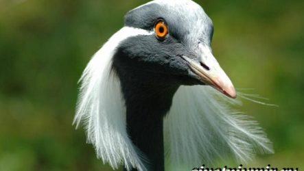 Журавль красавка птица. Образ жизни и среда обитания журавля красавка