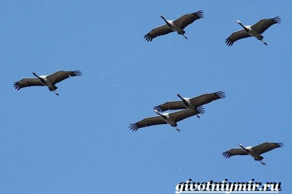 Журавль-красавка-птица-Образ-жизни-и-среда-обитания-журавля-красавка-6