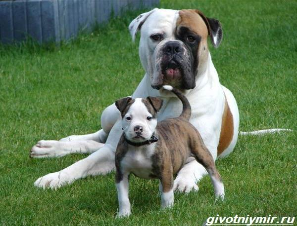 Амбуль-собака-Описание-особенности-уход-и-цена-за-амбулем-1