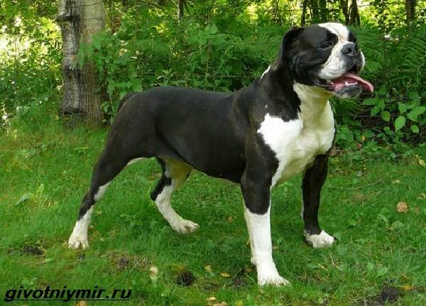 Амбуль-собака-Описание-особенности-уход-и-цена-за-амбулем-3
