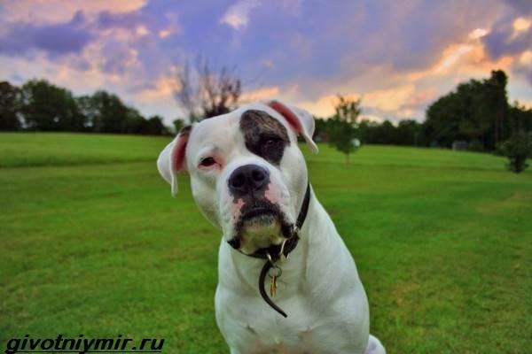 Амбуль-собака-Описание-особенности-уход-и-цена-за-амбулем-6