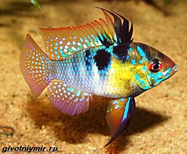 Апистограмма-рыбка-Описание-особенности-виды-и-уход-за-апистограммой-1