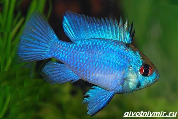 Апистограмма-рыбка-Описание-особенности-виды-и-уход-за-апистограммой-10