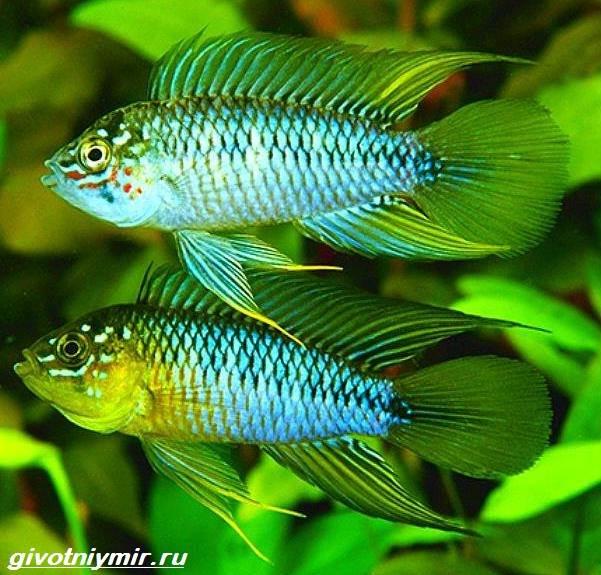Апистограмма-рыбка-Описание-особенности-виды-и-уход-за-апистограммой-11