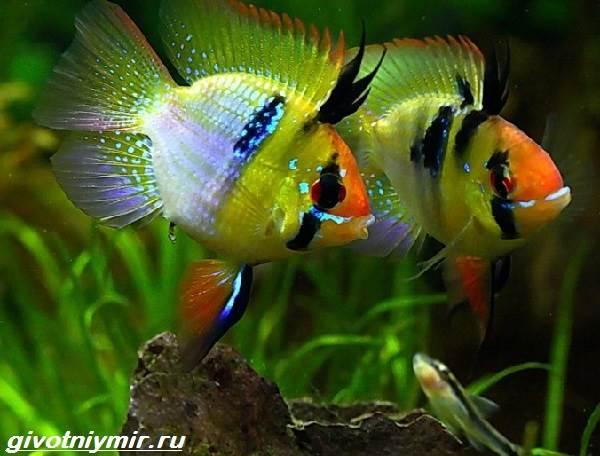 Апистограмма-рыбка-Описание-особенности-виды-и-уход-за-апистограммой-13