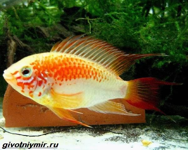 Апистограмма-рыбка-Описание-особенности-виды-и-уход-за-апистограммой-14
