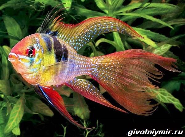 Апистограмма-рыбка-Описание-особенности-виды-и-уход-за-апистограммой-15