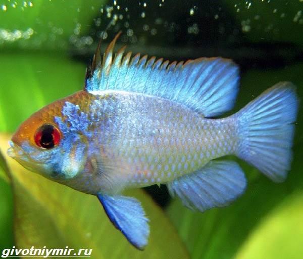 Апистограмма-рыбка-Описание-особенности-виды-и-уход-за-апистограммой-3