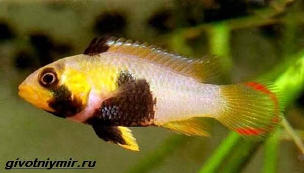 Апистограмма-рыбка-Описание-особенности-виды-и-уход-за-апистограммой-4