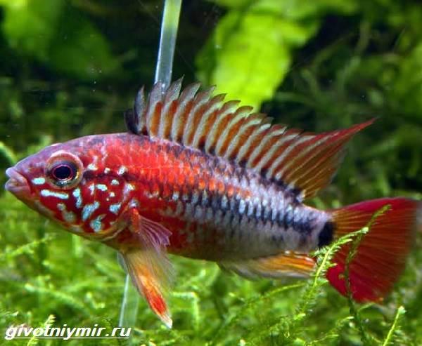Апистограмма-рыбка-Описание-особенности-виды-и-уход-за-апистограммой-5