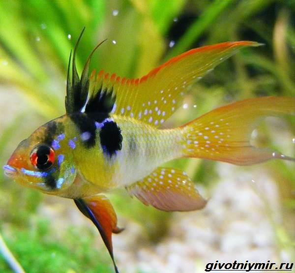 Апистограмма-рыбка-Описание-особенности-виды-и-уход-за-апистограммой-6