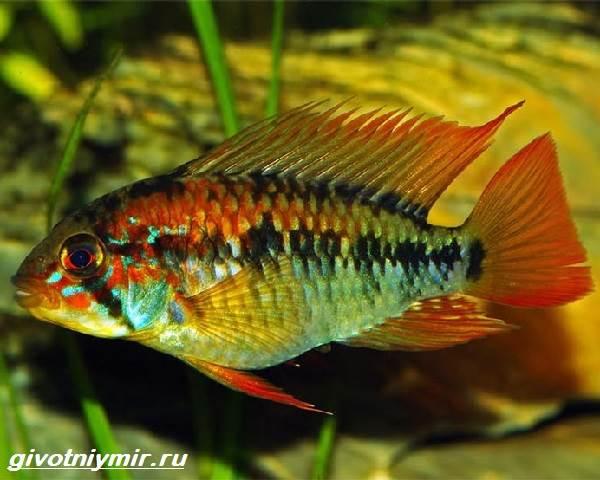 Апистограмма-рыбка-Описание-особенности-виды-и-уход-за-апистограммой-7