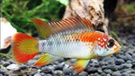 Апистограмма рыбка. Описание, особенности, виды и уход за апистограммой