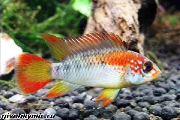 Апистограмма-рыбка-Описание-особенности-виды-и-уход-за-апистограммой-8