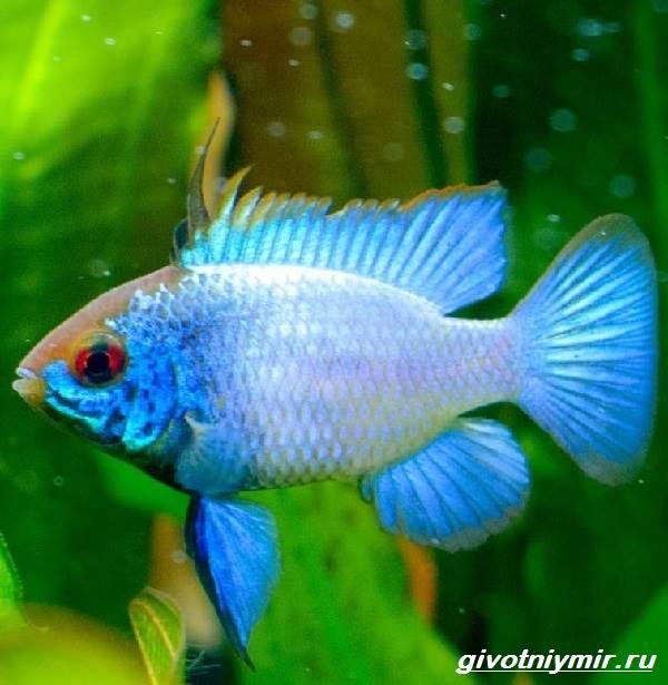 Апистограмма-рыбка-Описание-особенности-виды-и-уход-за-апистограммой-9