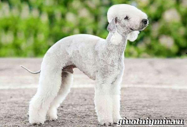 Бедлингтон-терьер-собака-Описание-особенности-уход-и-цена-бедлингтон-терьера-1