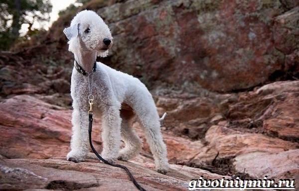 Бедлингтон-терьер-собака-Описание-особенности-уход-и-цена-бедлингтон-терьера-2
