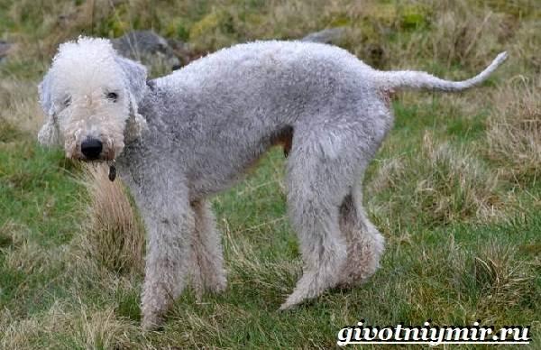 Бедлингтон-терьер-собака-Описание-особенности-уход-и-цена-бедлингтон-терьера-3