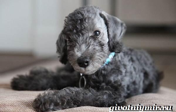 Бедлингтон-терьер-собака-Описание-особенности-уход-и-цена-бедлингтон-терьера-4