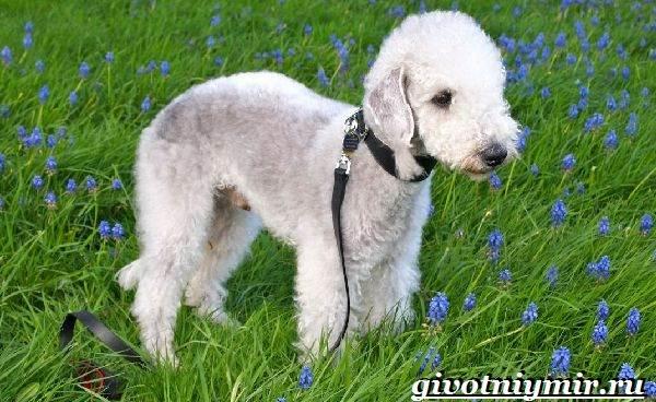 Бедлингтон-терьер-собака-Описание-особенности-уход-и-цена-бедлингтон-терьера-6