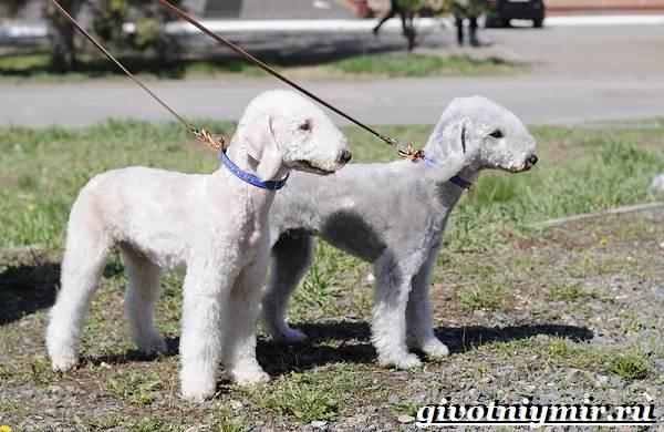 Бедлингтон-терьер-собака-Описание-особенности-уход-и-цена-бедлингтон-терьера-7