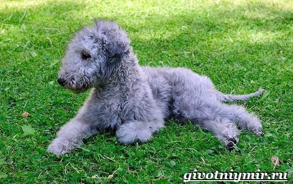 Бедлингтон-терьер-собака-Описание-особенности-уход-и-цена-бедлингтон-терьера-9