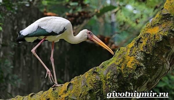 Черный-аист-птица-Образ-жизни-и-среда-обитания-черного-аиста-10