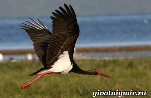 Черный-аист-птица-Образ-жизни-и-среда-обитания-черного-аиста-4
