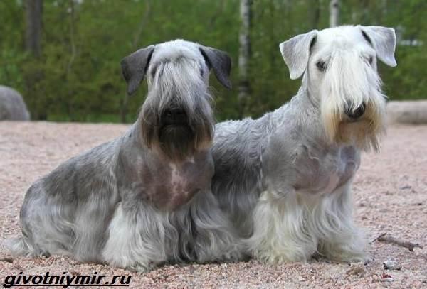 Чешский-терьер-собака-Описание-особенности-уход-и-цена-чешского-терьера-1