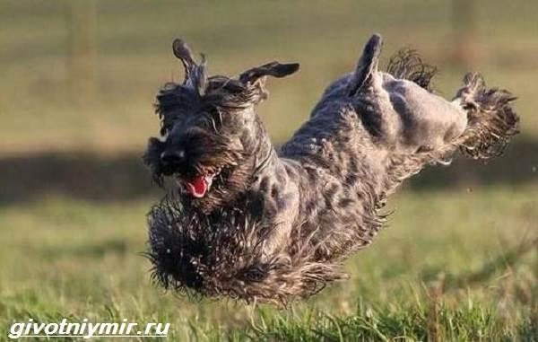 Чешский-терьер-собака-Описание-особенности-уход-и-цена-чешского-терьера-2