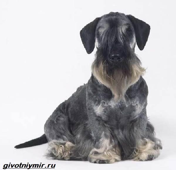 Чешский-терьер-собака-Описание-особенности-уход-и-цена-чешского-терьера-3
