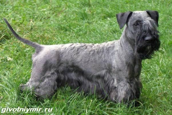 Чешский-терьер-собака-Описание-особенности-уход-и-цена-чешского-терьера-4