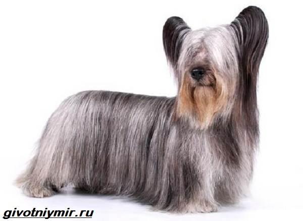 Чешский-терьер-собака-Описание-особенности-уход-и-цена-чешского-терьера-7